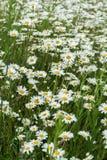 A parte pequena de um campo enorme infinito dos daisys floresce Árvore no campo Conceito das estações, ecologia, planeta verde, s Fotos de Stock