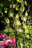 Parte pequena do jardim home Planta decorativa da mandioca Foto de Stock Royalty Free