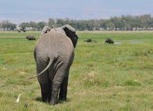 Parte posterior con los pájaros - Amboseli (Kenia) del elefante Foto de archivo