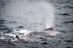Parte posterior de la ballena de esperma Fotografía de archivo