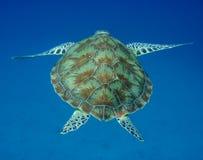 parte posterior de la tortuga de mar imagen de archivo libre de regalías