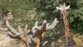 Parte posterior del baobab de la jirafa almacen de metraje de vídeo