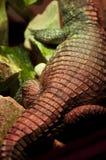 Parte posterior del cocodrilo con textura de la piel Fotos de archivo
