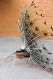 Parte posterior del pavo real azul indio foto de archivo