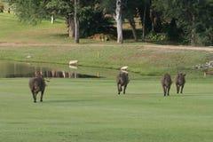 Parte posterior dos warthogs Imagem de Stock