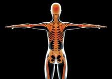 Parte posterior femenina y esqueleto del cuerpo humano Foto de archivo libre de regalías