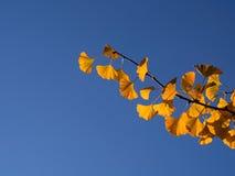 Parte posteriore accesa delle foglie del ginkgo biloba con cielo blu Fotografia Stock