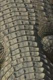 Parte posteriore del coccodrillo fotografia stock libera da diritti