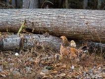 Parte posteriore del ` s della gallina della madre di guida del pollo del bambino in un campo fotografia stock libera da diritti