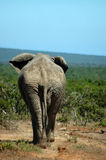 Parte posteriore dell'elefante Immagini Stock Libere da Diritti