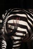Parte posteriore della zebra Fotografia Stock Libera da Diritti