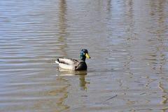 Parte posteriore di Mallard Duck Looking voi Fotografia Stock