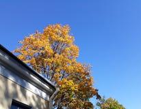 Parte superior amarelada da árvore de bordo no fundo do céu azul fora da construção da cidade fotos de stock
