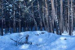 A parte superior caída do pinho encontra-se na neve no fundo da floresta conífera misteriosa Fotografia de Stock