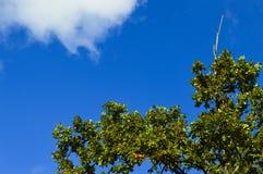 Parte superior da árvore Imagem de Stock Royalty Free