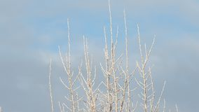 Parte superior da árvore coberta na geada no inverno video estoque