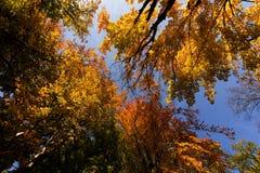 Parte superior da árvore do outono no céu azul Foto de Stock
