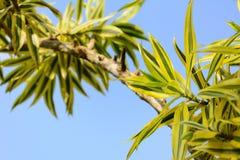 Parte superior da árvore e céu azul foto de stock