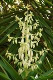 Parte superior da flor da planta da mandioca Fotos de Stock