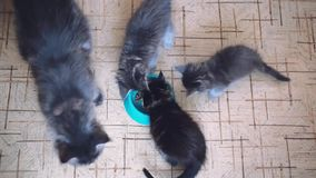 Parte superior da maca da vista de gatinhos de Maine Coon com seu mum grande que come a comida de gato saudável de uma bacia junt filme
