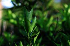 Parte superior da planta com as folhas que apontam para cima completo do orvalho da manh? foto de stock royalty free