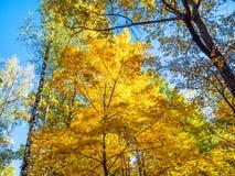 a parte superior de árvores do bordo e de vidoeiro iluminou-se pelo sol na floresta foto de stock