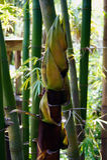 Parte superior de bambu nova da árvore Fotografia de Stock Royalty Free