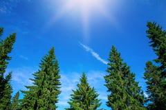 Parte superior de pinheiros verdes no fundo do céu azul Foto de Stock Royalty Free