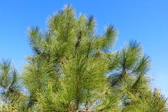 A parte superior de um pinho verde contra um céu azul fotografia de stock royalty free