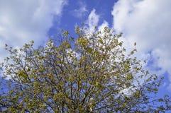 Parte superior de uma árvore contra umas KY azuis com nuvens foto de stock