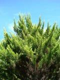 Parte superior de uma árvore de pinho Fotografia de Stock
