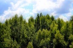 A parte superior de uma floresta do vidoeiro contra o céu azul com nuvens imagem de stock
