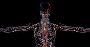 Parte superior del sistema circulatorio completa de un cuerpo humano en la rotación ilustración del vector