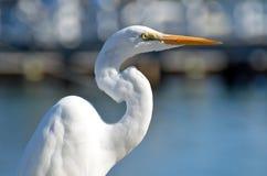 A parte superior do corpo de um grande egret branco com um pescoço curvy ensolarado imagens de stock
