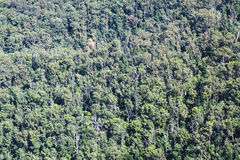 Parte superior do eucalipto da floresta Fotografia de Stock