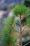 Parte superior do evergreen   fotografia de stock
