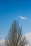 parte superior do pinheiro no céu azul Fotografia de Stock Royalty Free