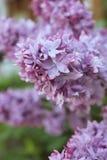 A parte superior do ramo de florescência de Syriga lilás no close-up natural das circunstâncias fotografia de stock royalty free