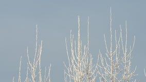 Parte superior dos ramos de árvore cobertos na geada filme