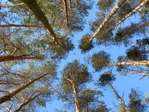 Parte superiore degli alberi di pino Immagini Stock