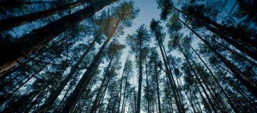 Parte superiore degli alberi in una foresta Fotografie Stock Libere da Diritti