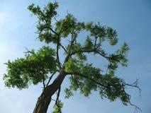 Parte superiore dell'albero Immagini Stock Libere da Diritti