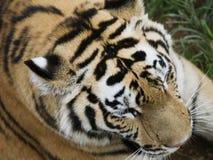 Parte superiore della testa della tigre Fotografia Stock