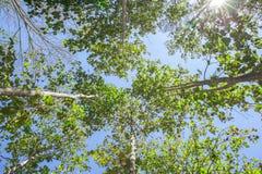 Parte superiore di albero alla foresta con i raggi di sole o i raggi di sole della luce del sole Fotografia Stock Libera da Diritti