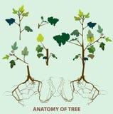 Parte superiore di anatomia dell'albero alla radice Immagine Stock