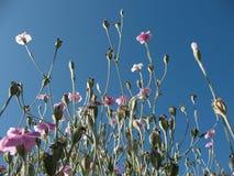 Parte superiore di fioritura della licnide (coronaria di Lychnis) contro Immagini Stock