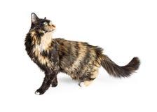 Parte traseira bonita de Cat Walking Over White Looking foto de stock royalty free