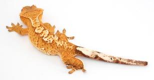 Parte traseira com crista do Gecko 3/4 Fotografia de Stock Royalty Free