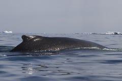 Parte traseira da baleia de corcunda no Antarctic do verão Fotografia de Stock Royalty Free