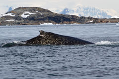 Parte traseira da baleia de corcunda nos pontos do branco no Antarctic Fotografia de Stock Royalty Free
